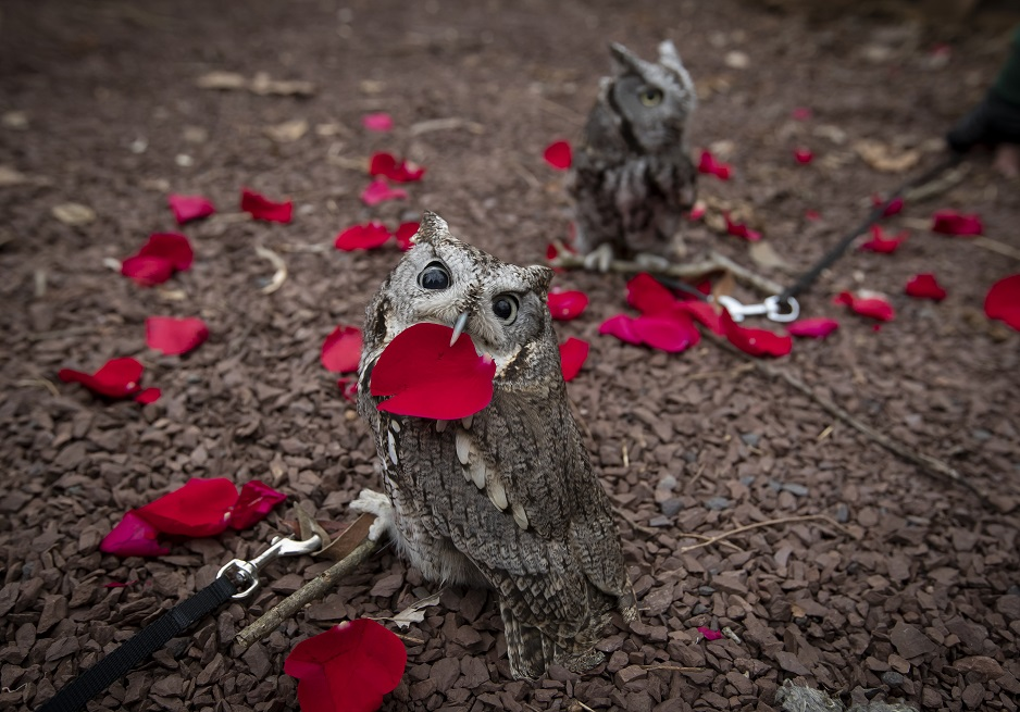 Two eastern screech owls sitting on the ground with rose petals.