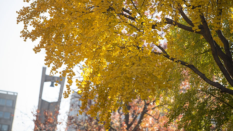A tree with yellow leaves and the Bell Tower in the background.