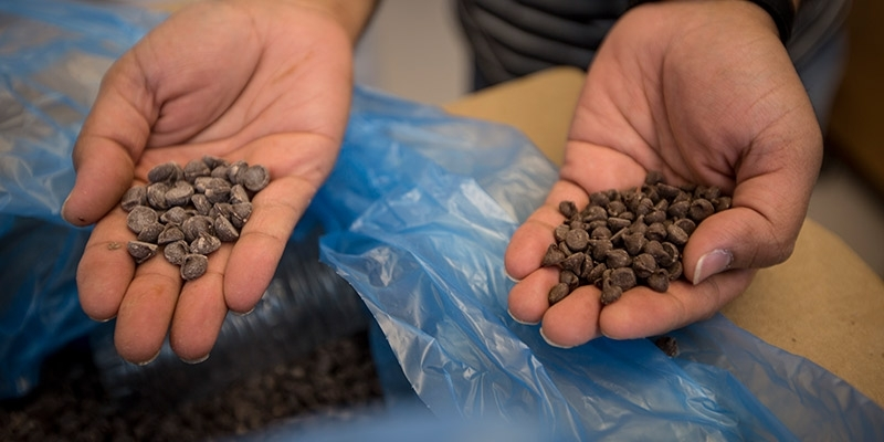 A man in Dr. Tao's lab holds chocolate chips in his hands.