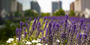Image of flowers on Charles Library's green roof.